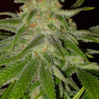 Cinderella 99 Feminised Cannabis Seeds |  BC Bud Depot