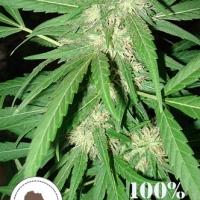 Coffee Gold Regular Cannabis Seeds | Seeds of Africa