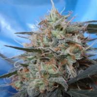 Congo x Kali China Feminised Cannabis Seeds | Ace Seeds