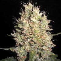 Crazy Miss Hyde Feminised Cannabis Seeds | Samsara Seeds
