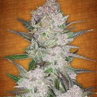 Cream Cookies Auto Feminised Cannabis Seeds | Fast Buds
