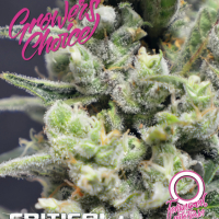 Critical+ Auto Feminised Cannabis Seeds - Growers Choice