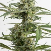 Critical Cheese Auto Feminised Cannabis Seeds | Dinafem Seeds