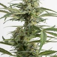 Critical Cheese Auto Feminised Cannabis Seeds | Dinafem Seeds