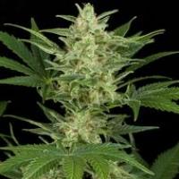 Critical Jack Auto Feminised Cannabis Seeds | Dinafem Seeds