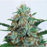Critical Neville Haze Auto Feminised Cannabis Seeds   Delicious Seeds