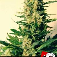 Critical 47 Feminised Cannabis Seeds | Positronics