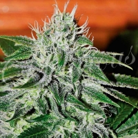 Critical Jack Herer Feminised Cannabis Seeds   Delicious Seeds