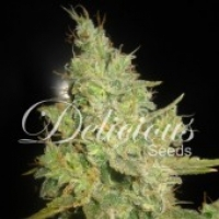Critical Kali Mist Feminised Cannabis Seeds   Delicious Seeds