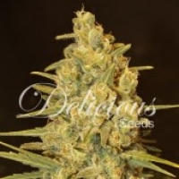 Critical Sensi Star Feminised Cannabis Seeds   Delicious Seeds