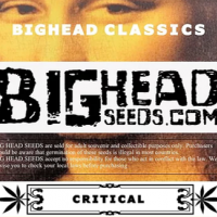 Critical Feminised Cannabis Seeds   Big Head Seeds