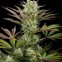 Deep Cheese Feminised Cannabis Seeds | Dinafem Seeds