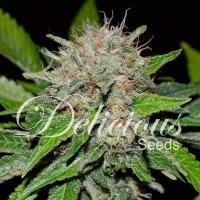 Deep Mandarine Feminised Cannabis Seeds   Delicious Seeds