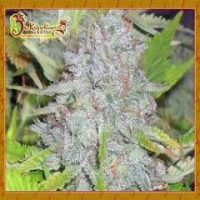Dr Krippling Delhi Friend  Feminised Cannabis Seeds For Sale