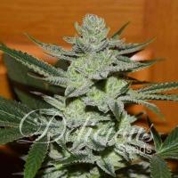 Desconocida Kush Feminised Cannabis Seeds   Delicious Seeds