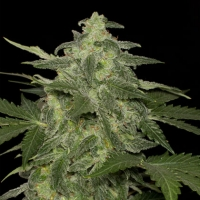 Diesel-Matic Auto Feminised Cannabis Seeds | Black Skull Seeds