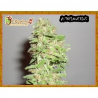 Dr Krippling Dizzy Lights Auto Feminised Cannabis Seeds For Sale