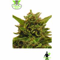 Eter Blueberry Feminised Cannabis Seeds | Dispensario Seeds