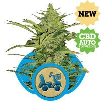 Fast Eddy CBD Auto Feminised Cannabis Seeds | Royal Queen Seeds