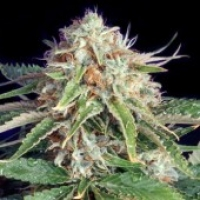 Fast Ryder II Auto flowering Feminised Cannabis Seeds | Bulldog Seeds