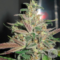 Frosty Berry Regular Cannabis Seeds | Apothecary Genetics Seeds