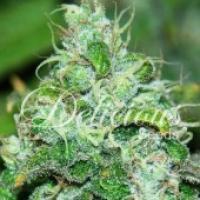 Fruity Chronic Juice Feminised Cannabis Seeds   Delicious Seeds