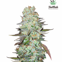G14 Feminised Cannabis Seeds | Fast Buds