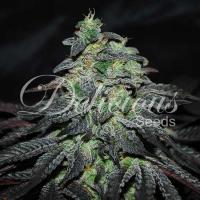 Golosa Feminised Cannabis Seeds   Delicious Seeds