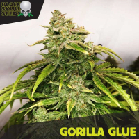 Gorilla Glue Feminised Cannabis Seeds | Black Skull Seeds