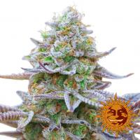 Gorilla Zkittlez Feminised Cannabis Seeds | Barney's Farm
