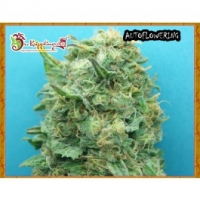 Dr Krippling Grand Heft Auto Feminised Cannabis Seeds For Sale