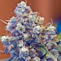 Grape Skunk Regular Cannabis Seeds | Apothecary Genetics Seeds
