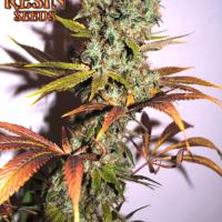 Hammershark Feminised Cannabis Seeds | Resin Seeds