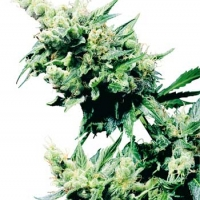 Hash Plant Regular Cannabis Seeds | Sensi Seeds