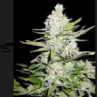 Haze Regular Cannabis Seeds | Apothecary Genetics Seeds