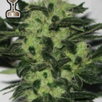 Headband 707 Regular Cannabis Seeds | Apothecary Genetics Seeds