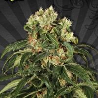 Hijack Auto flowering Feminised Cannabis Seeds | Auto Seeds