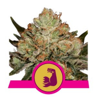 HulkBerry Feminised Cannabis Seeds   Royal Queen Seeds
