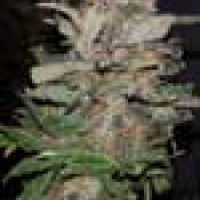 Hurkle Regular Cannabis Seeds | TGA Seeds