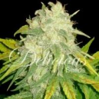 Il Diavolo Auto Feminised Cannabis Seeds   Delicious Seeds