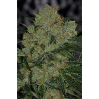 Jack Straw Regular Cannabis Seeds | TGA Seeds