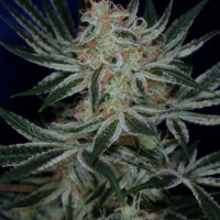 Jack The Ripper Regular Cannabis Seeds | TGA Seeds