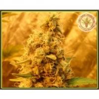 Dr Krippling Jack Mist Tree Kali's Fruitful  Feminised Cannabis Seeds For Sale
