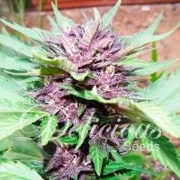 Dark Purple Auto Feminised Cannabis Seeds   Delicious Seeds