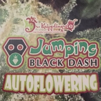 Jumping Black Dash Auto Feminised Cannabis Seeds | Dr Krippling
