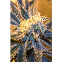 Kaboom Regular Cannabis Seeds | TGA Seeds