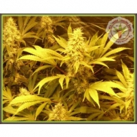 Dr Krippling Kali and the Chocolate Factory Kali's Fruitful Range Feminised Cannabis Seeds For Sale