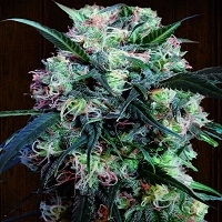 Kali China Feminised Cannabis Seeds | Ace Seeds