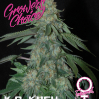 K.O. Kush Feminised Cannabis Seeds - Growers Choice