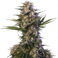 Kraken Feminised Cannabis Seeds | Buddha Seeds